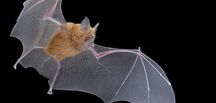 Meet Africa's new bats