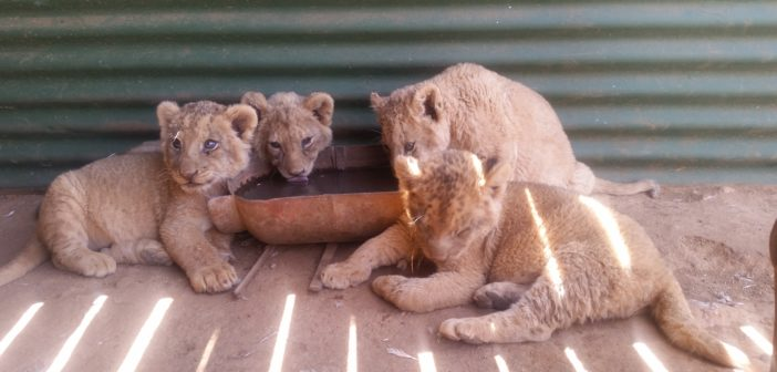 South Africa's lion bone trade – public hearing imminent