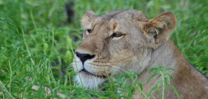 Promote or harm? How does the lion bone trade impact South Africa's conservation image?