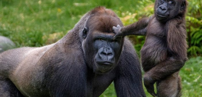 Male gorillas: the benefits of being nice to kids